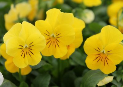 Viola Penny Yellow Pansy